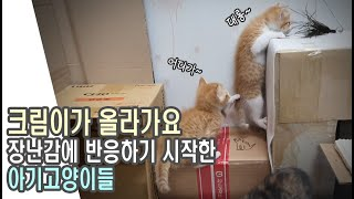 아기고양이들 장난감에 반응하기 시작하다 / 구조 후 3…