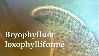 Bryophyllum loxophylliforme