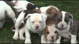 Buddy, Benji, Bailey, Bingo, Brandy, Bronson, & Butch-American Bulldog puppies