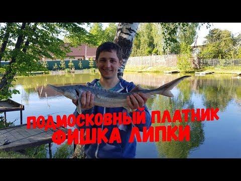 Платный пруд Фишка Липки, ловля карпа и осетра, платная рыбалка 2019