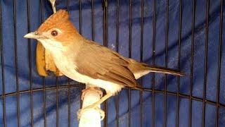 Untuk Masteran | Burung Yuhina Gacor