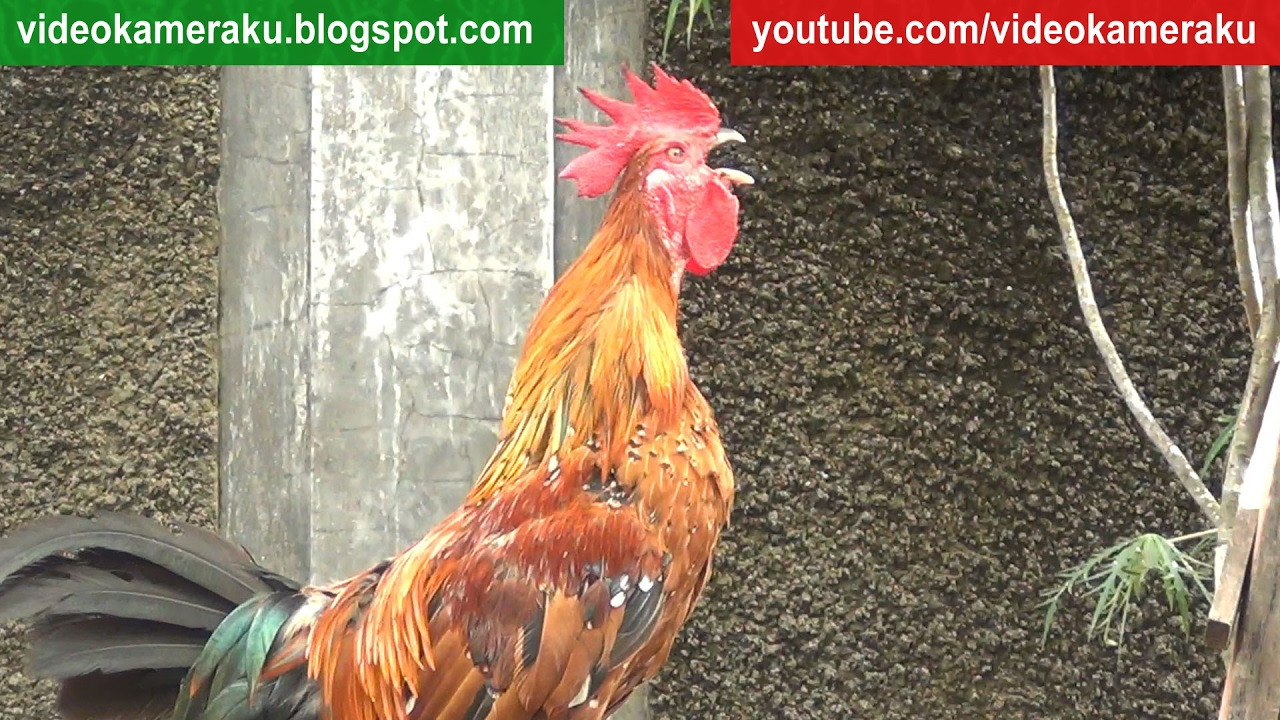 Roosters Live