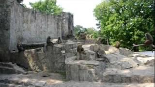 Zoo Wrocław - Pawiany masajskie 1