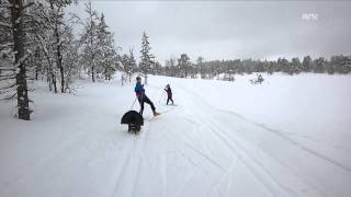 Mad Tjur/Capercaillie/Wood Grouse attacks skiing kids in Norway