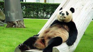 Забавные Панды Видео Сборник 2016 [NEW!]