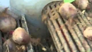 Sator XXL - Kombajn do zbioru buraczka / Red Beet Root Harvester