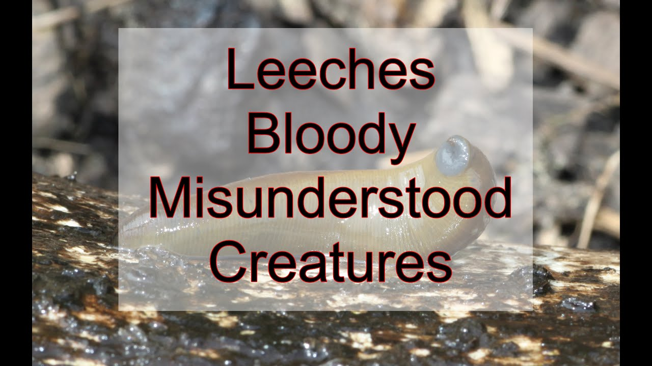 Leeches - Bloody Misunderstood Creatures