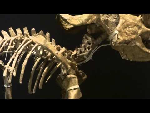 プロトケラトプス  Protoceratops andrewsi :「大恐竜展」ゴビ砂漠の驚異