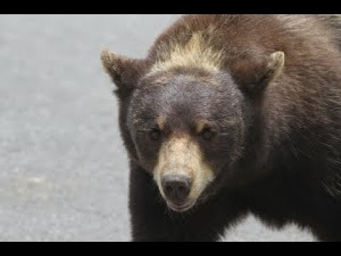 Yellowstone Bears * Bears in Yellowstone * Yellowstone Bear World Idaho * Bear Video