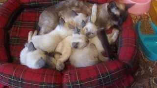 сиамские котята c мамой