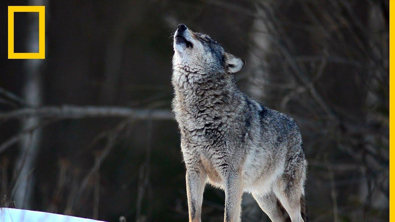 Download Lobos 101 | National Geographic en Español