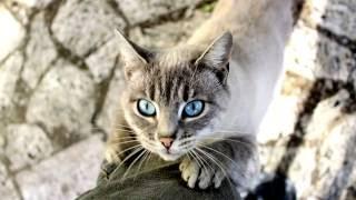 Порода кошек. Сиамская кошка. Внешний вид.Красивая кошка.