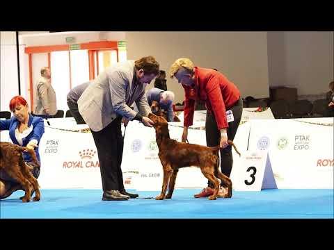 Irish Setter Minor Puppy - European Dog Show 2018