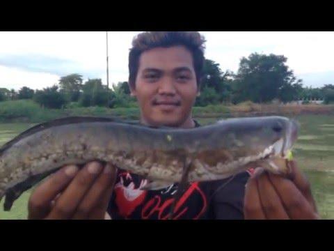 ตกปลาช่อนที่นาผักกระเฉด
