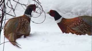 Ring Neck pheasants Fighting Webster, Minnesota 2/5/2013