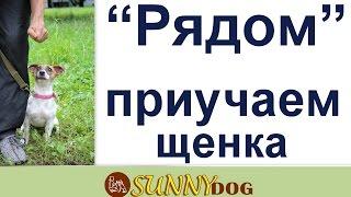 Рядом - дрессировка щенка. Обучение щенка команде  Рядом