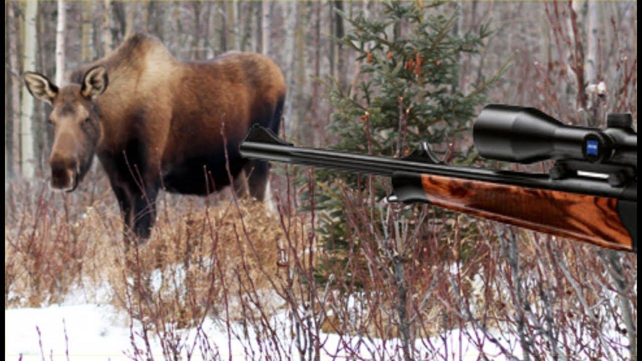 Охота на лося. Лоси вышли на номер.