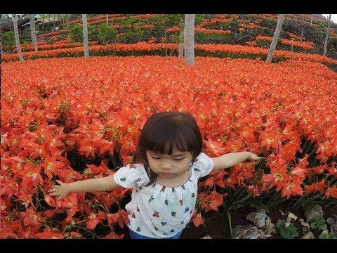 """viral-!!!-""""gempi""""-piknik-di-kebun-bunga-amarilis-gunungkidul-!!!"""
