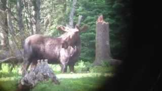 Moose Spotting With Game Hunter Nicole McClain