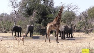Nasty Elephants vs Impala, Kudu And Giraffe