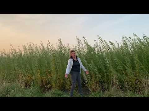 Русская ива. Видео-обзор. Результат посадки плантации в 2020 году.