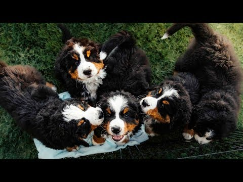 PUPPY PARADISE!! Life with 14 Bernese Mountain Dogs!! Ep.2 || vlog009
