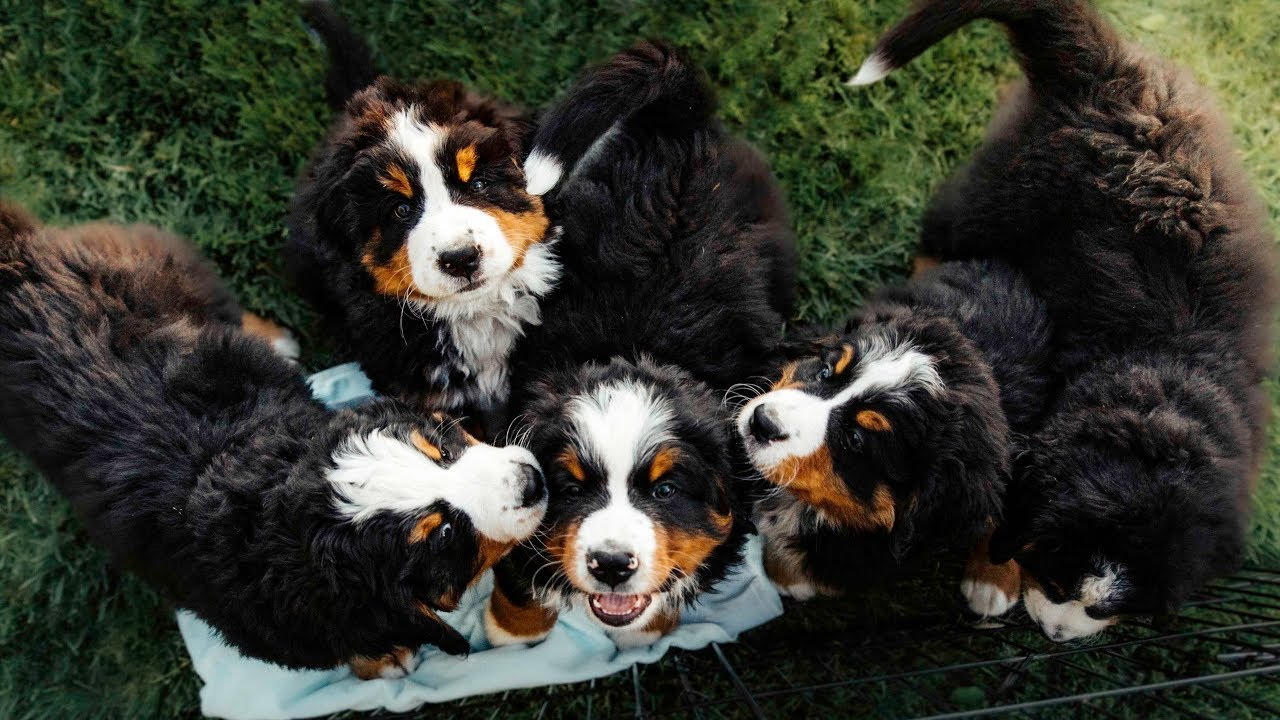 Puppy Paradise Life With 14 Bernese Mountain Dogs Ep2 Vlog009