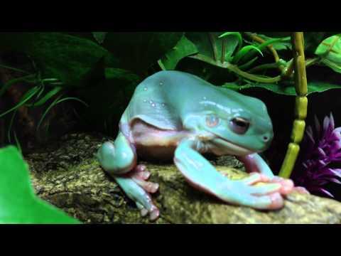 White's Tree Frog Shedding