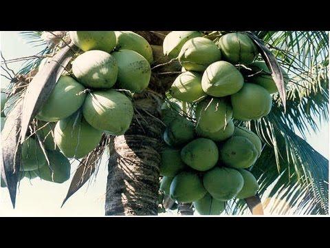 Clique e veja o vídeo Cultivo de Processamento de Coco