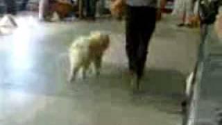 Выставка собак 4.06.2011, Ижевск, кремовая чау и Фрося