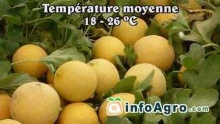 Astuces pour cultiver le melon - 1/2