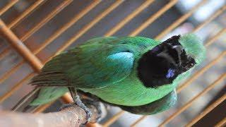 Gambar cover Suara pikat burung cucak hijau di alam liar 100% Ampuh