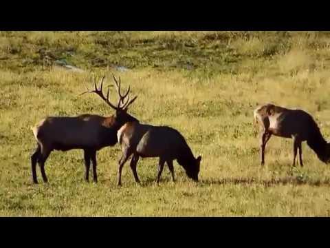 Wild Elk Rut, Elk County PA October, 2016