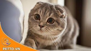 Mèo tai cụp scottish fold - Có ai muốn một em như này không nè