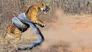 Самые жестокие битвы животных снятые на камеру.