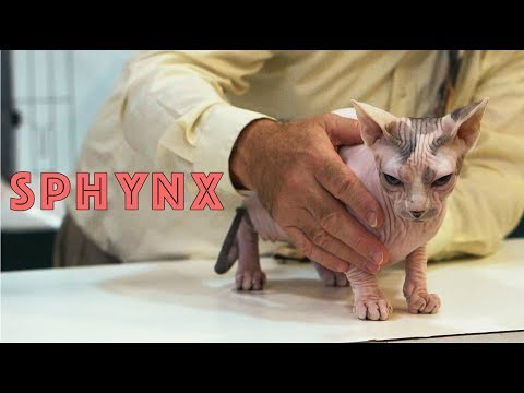Sphynx at a TICA Cat Show | The Sphynx Cat