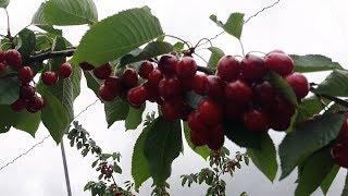 Созрели вишни в саду Дарю вам лето