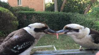 Kookaburra tug of war - failed breakup attempt