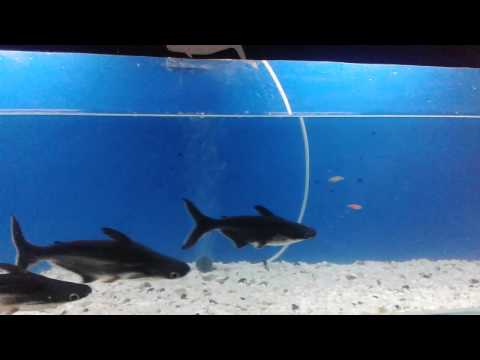 Black shark fish fresh water fish tank in india youtube for Shark fish tank