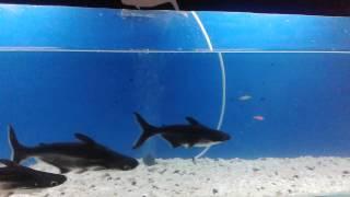 Black  Shark fish fresh water fish tank in India