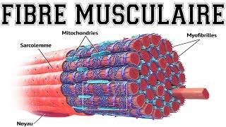 Que se passe-t-il quand un muscle se contracte ? [Animation]
