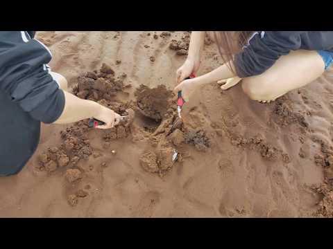 물빠진 해수욕장 모래밭에서 대합 조개 잡이