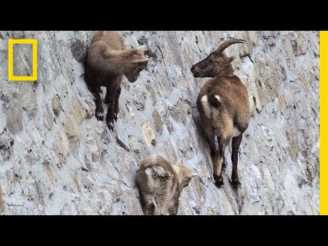 Amazing Footage: Goats Climbing on a Near-Vertical Dam | National Geographic