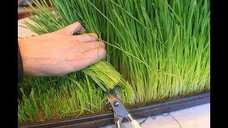 طريقة مبتكرة لاستنبات القمح توفر الغذاء للحيوانات المنزلية