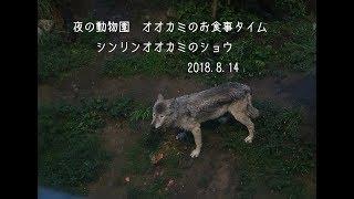 札幌市円山動物園、シンリンオオカミのショウ(オス/7歳)です。夜の動...
