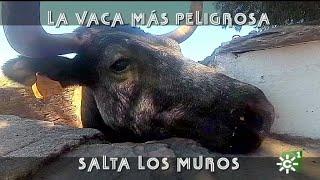 Vaca peligrosa de El Añadío salta los muros por su becerrito | Toros desde Andalucía