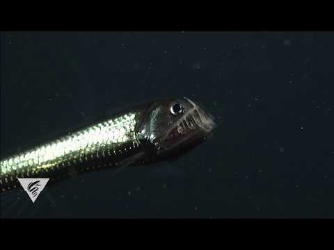 The Pacific Viperfish Has Fangs To-die-for