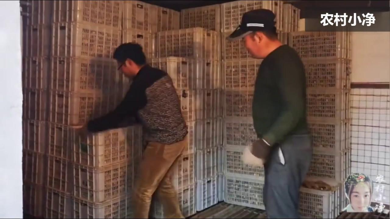 农村小净:大姜催芽第5天,13亩姜种再次搬出去晾晒,这情况大家碰到过吗