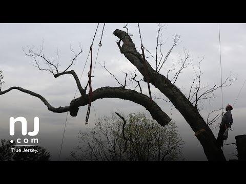 Basking Ridge says goodbye to its 600-year-old oak tree