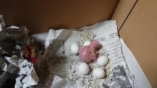 1月10日(金) ひとまわり大きくなって、しかも肌が黒くなってきた!! ほかの5つは無精卵っぽいですねー #セキセイインコ #初産卵.